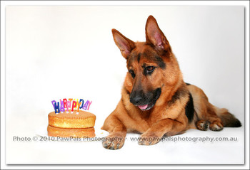 My german shepherd is years old sydney dog photographer pet